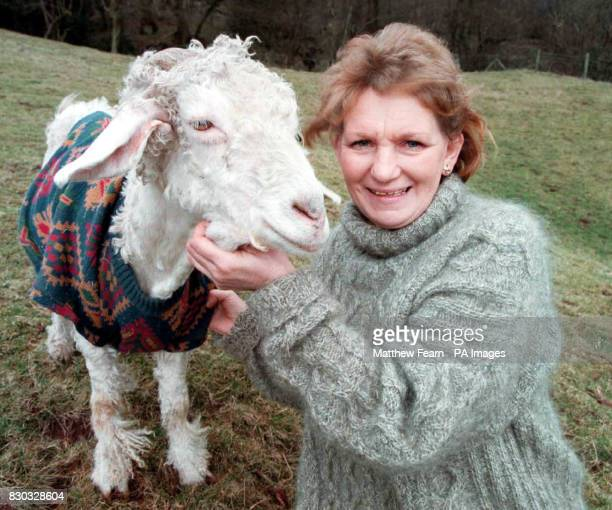 One of the 50 strong herd of Angora goats who have an unusual way of keeping warm Their owner Robi Mandley from Llanveynoe South Wales came up with...