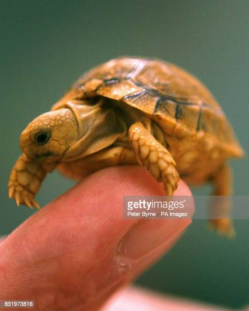 One of the baby Egyptian Tortoises born earlier this week at Chester Zoo