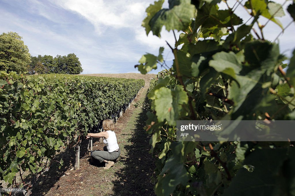 ABADIE - One of the co-owners of the Chateau Reault vineyard (formely Chateau Reault la Graviere) takes part in the grape harvest on September 29, 2012 in Paillet, western France. The co-owners joined a property sharing group or GFA (Groupe Foncier Agricole) for 1500 euros, an investment that equates to 165 vines and 36 bottles per year labelled with each purchaser's own name.