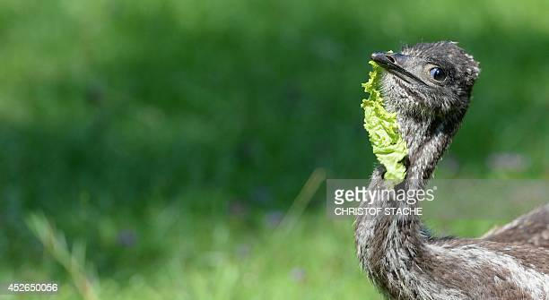 One of the eight Emu chicks is pictured in their enclosure in the Munich's Hellabrunn zoo on July 25 2014 The eight small Emu chicks were born in...