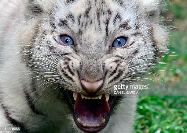 One of the four white Bengal tigers born in captivity on January 14 2013 at the Buenos Aires zoo growls during their presentation on March 21 2013...