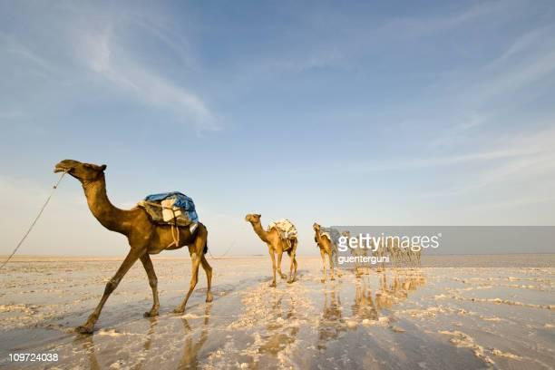 L'un des derniers salt caravanes, Danakil désert, Éthiopie