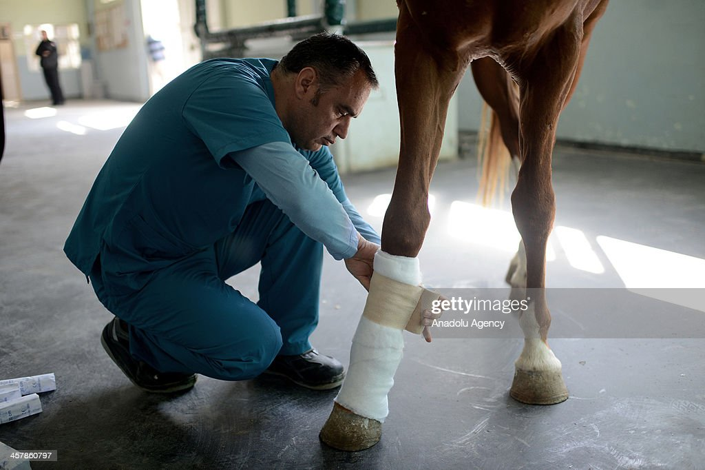 One of the manager at the Horse Hospital, Veterinarian Muhlis Arslan bandage horse's wounded leg after operation on October 8, 2013 in Istanbul. Jockey Club of Turkey (TJK) provides all kinds of protective and medical services to the race horses at horse clinics located in Istanbul. Daily 170 horses on average being treated at the clinic. The most common health issues are upper respiratory tract infections and orthopedic surgery on race horses.