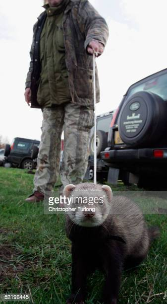 One of the many thousands of spectators who turned out for the last Waterloo Cup Hare coursing event is accompanied by a Ferret on February 14 2005...