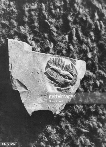 One of the most ancient of fossilized life forms this trilobite fossil was found encased in rock Colorado School of Mines museum contains more than...