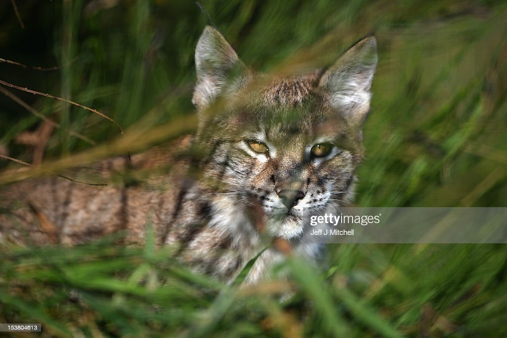 One of the Northern Lynx kittens explores its enclosure at the Highland Wildlife park on October 9, 2012 in Kingussie, Scotland. The feline twins are believed to be the type of lynx found historically in Scotland. The Highland Wildlife Park specialises in Scottish animal species, both past and present, and species that are well adapted to cold weather.