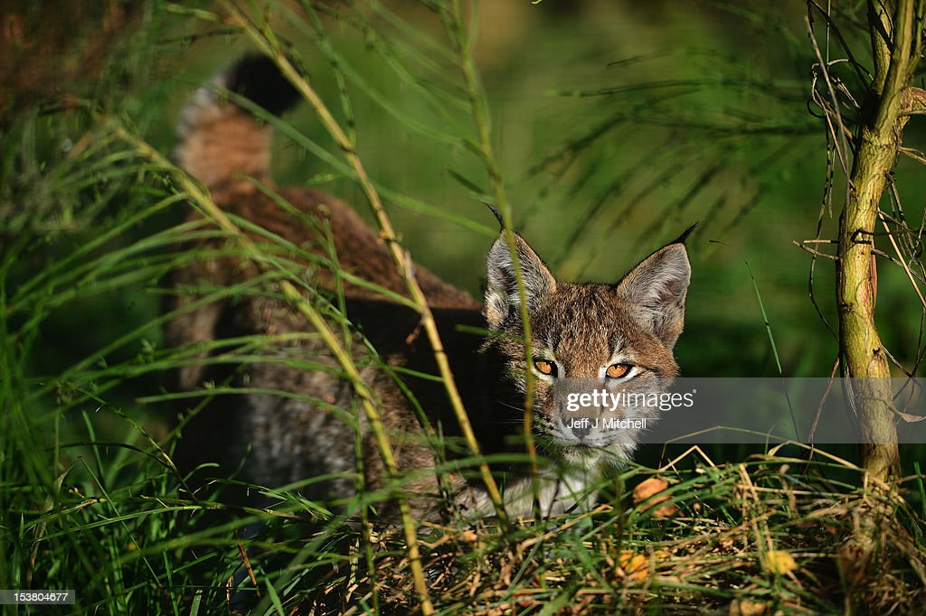 One of the Northern Lynx kittens, explores their enclosure at the Highland Wildlife park on October 9, 2012 in Kingussie, Scotland. The feline twins are believed to be the type of lynx found historically in Scotland. The Highland Wildlife Park specialises in Scottish animal species, both past and present, and species that are well adapted to cold weather.