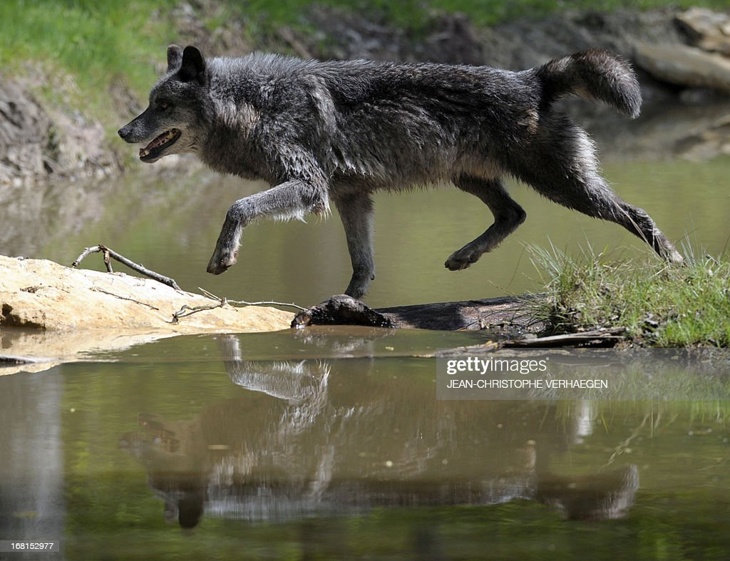 One of the six Canadian timber wolves (Canis lupus occidentalis), aka Mackenzie Valley wolves, crosses a pond in the animal park of Sainte-Croix, on May 6, 2013, in Rhodes, eastern France. Timber wolves are installed in a park of 12,000 square meters flanked by a park of artic wolves and a park of grey wolves. VERHAEGEN