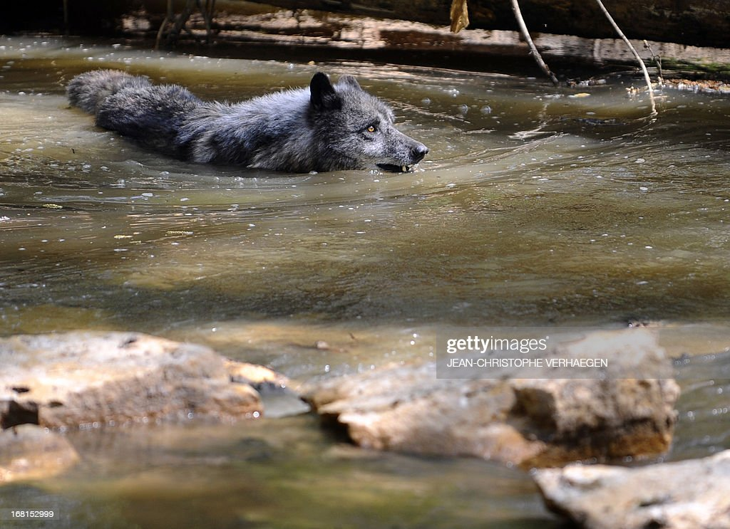 One of the six Canadian timber wolves (Canis lupus occidentalis), aka Mackenzie Valley wolves, swims in a pond in the animal park of Sainte-Croix, on May 6, 2013, in Rhodes, eastern France. Timber wolves are installed in a park of 12,000 square meters flanked by a park of artic wolves and a park of grey wolves. VERHAEGEN