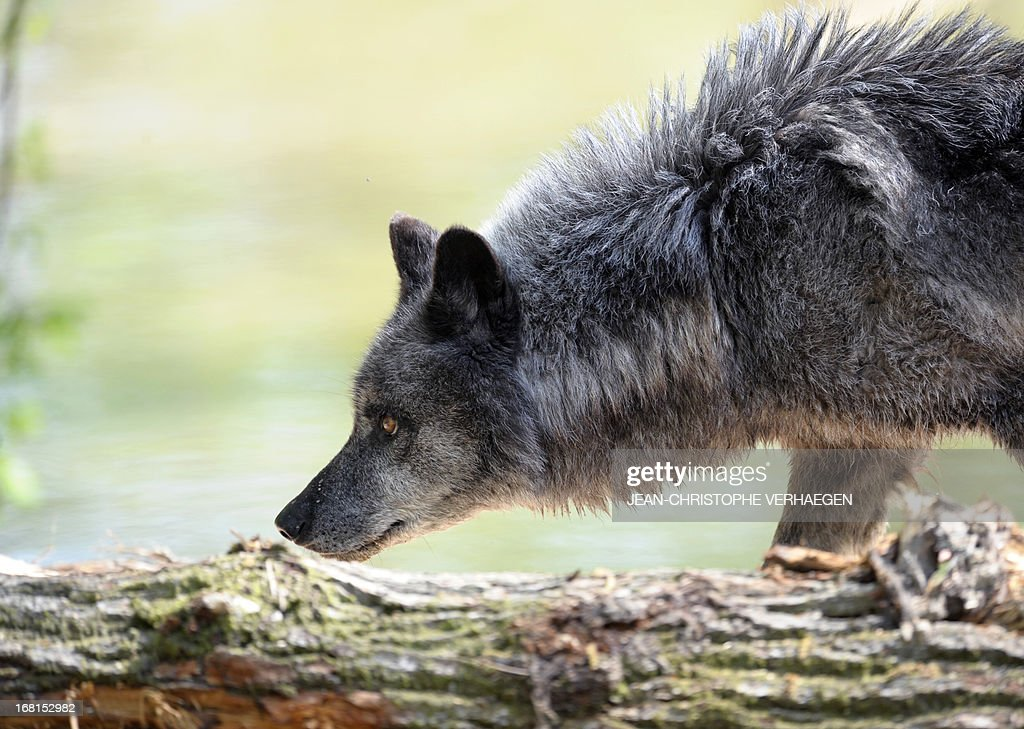 One of the six Canadian timber wolves (Canis lupus occidentalis), aka Mackenzie Valley wolves, is pictured in the animal park of Sainte-Croix, on May 6, 2013, in Rhodes, eastern France
