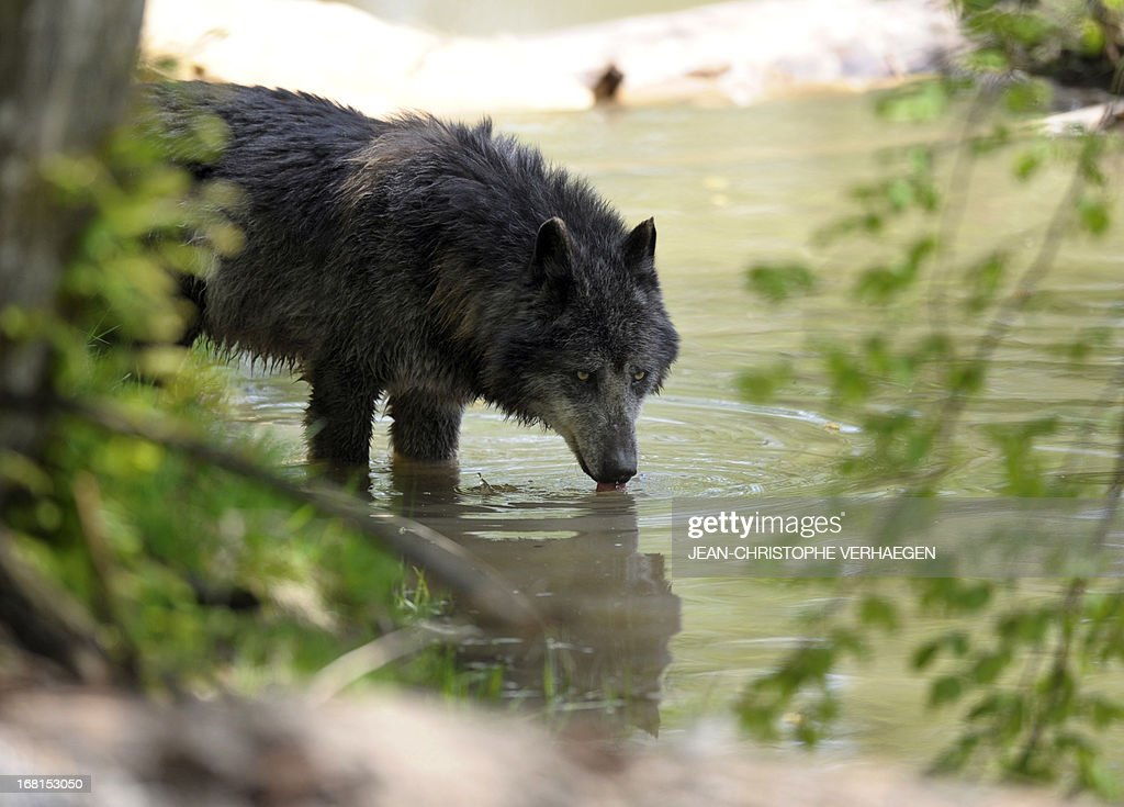 One of the six Canadian timber wolves (Canis lupus occidentalis), aka Mackenzie Valley wolves, drinks water in a pond in the animal park of Sainte-Croix, on May 6, 2013, in Rhodes, eastern France. Timber wolves are installed in a park of 12,000 square meters flanked by a park of artic wolves and a park of grey wolves. VERHAEGEN