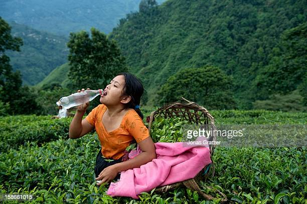One of the tea pickers takes a break to drink water on a plantation on the mountain slopes of Darjeeling The mountains around Darjeeling are...