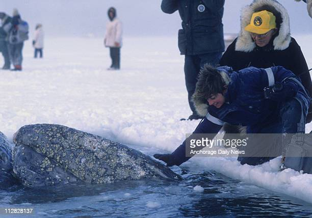 One of the three California gray whales sis pet as he surfaces in a breathing hole cut into the ice off Point Barrow during a rescue attempt in...