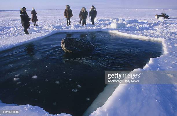 One of the three California gray whales surfaces in a breathing hole cut into the ice off Point Barrow during a rescue attempt in October 1988