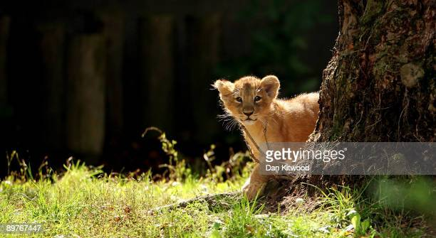 One of the two newborn lion cubs takes its first steps in their new enclosure at London Zoo on August 13 2009 in London England The two cubs are the...