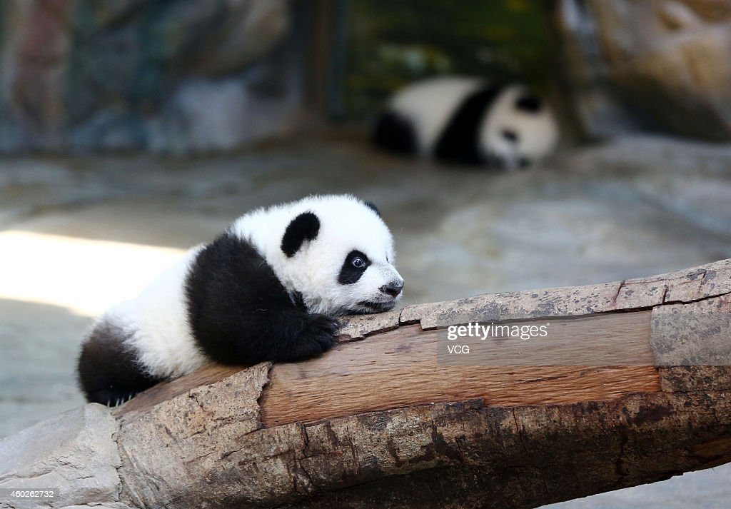 One of the world's only alive panda triplets plays at Chimelong Safari Park on December 9, 2014 in Guangzhou, China. The world's only alive giant panda triplets (two boys and one girl) started living together with their mother giant panda Juxiao after taking turns living with her since their birth at the Chimelong Safari Park. The triplets were born on July 29 and now all weigh over 8 kg. They will stay with their mother and meet with visitors at 13:00-15:00 and 16:00 - 18:00 from Tuesday.