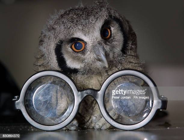 One of three baby owlets whose mother died shortly after they were born at London Zoo finds a pair of Harry Potter glasses in the run up to the zoo...