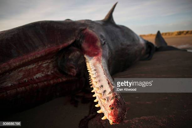 One of three Sperm Whales that were found washed ashore on beach near Skegness over the weekend lays on the beach on January 25 2016 in Skegness...