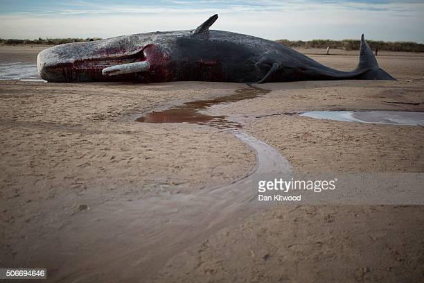 One of three Sperm Whales that were found washed ashore on beach near Skegness over the weekend on January 25 2016 in Skegness England The whales are...