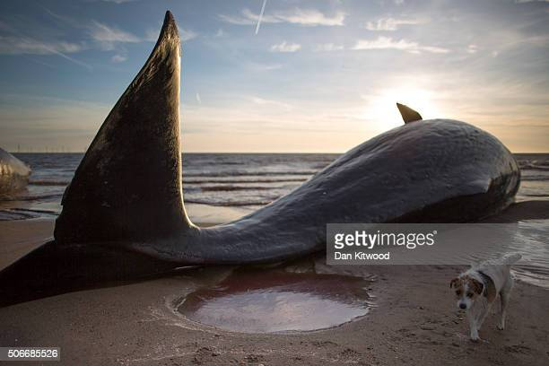 One of three Sperm Whales which were found washed ashore near Skegness over the weekend lays on a beach on January 25 2016 in Skegness England The...