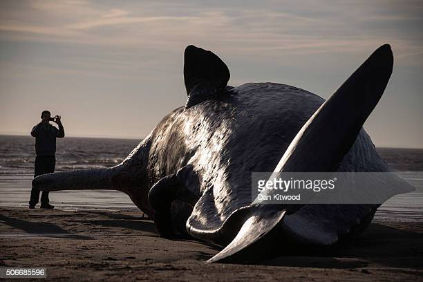 One of three Sperm Whales which were found washed ashore near Skegness over the weekend on January 25 2016 in Skegness England The whales are thought...