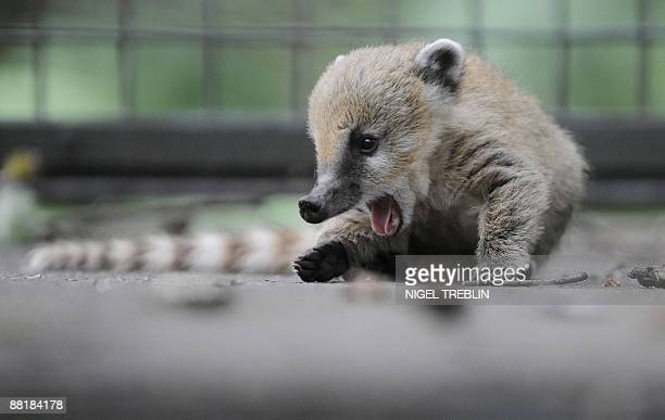One of two baby coatis play in its enclosure at the zoo in the northern German city of Hanover on June 3 2009 The young coatis also known as the...