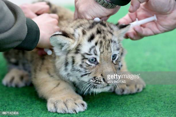 One of two baby tigers is being vaccinated at the zoo in Leipzig eastern Germany on April 11 2017 The zoo actually is seeking for names for the...