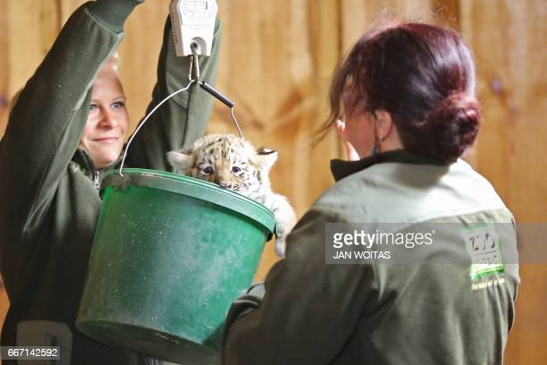 One of two baby tigers is being weighed at the zoo in Leipzig eastern Germany on April 11 2017 The zoo actually is seeking for names for the...