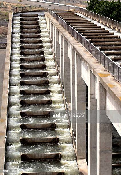 One of two fish ladders at Ice Harbor Lock and Dam on the lower Snake River is seen June 6 2005 near Burbank Washington In late May 2005 a federal...