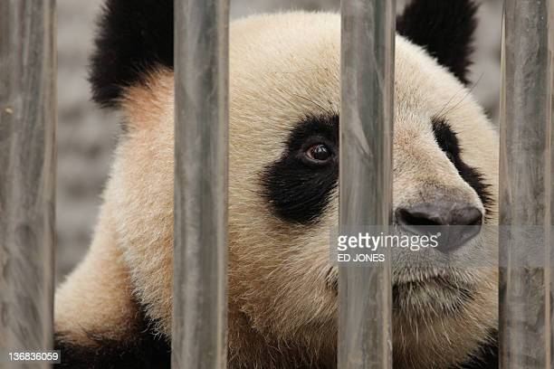 One of two pandas to be loaned to France sits in a quarantine area at the Giant Panda Research Base in Chengdu Sichuan province on January 12 2012 A...