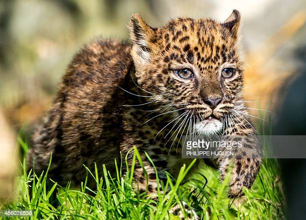 One of two young Sri Lankan Leopard cubs is seen on September 9 2014 at the zoo in Maubeuge The twomonthold cubs are the first Sri Lankan Leopards to...