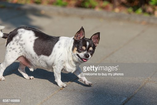 One old dog (Chihuahua)