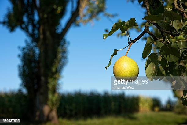 One pear on a tree
