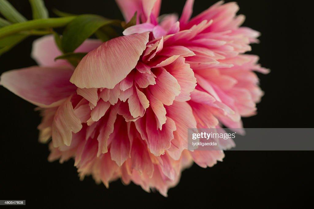 One pink peony closeup : Stock Photo