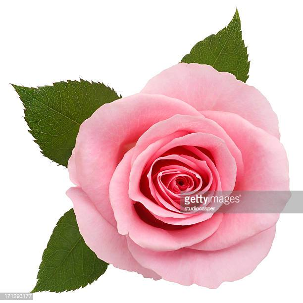 One pink rose on a white backdrop
