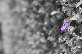One purple flower inside a hedge