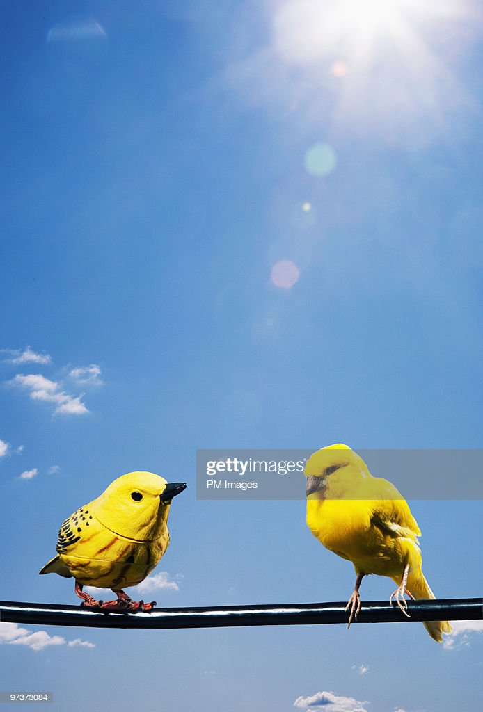 One real canary one fake bird on wire : Stock Photo