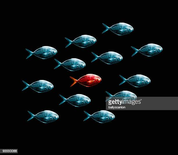 One Red Fish Surrounded By Blue Fish.