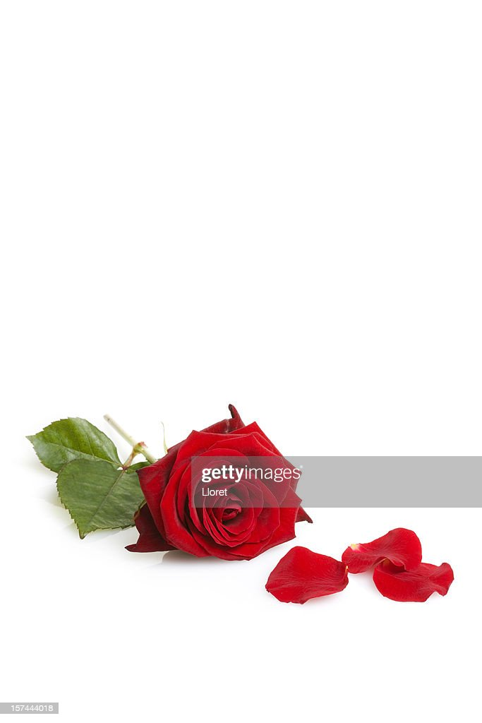 One red rose isolated on white : Stock Photo