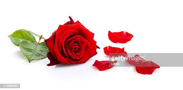 One red rose isolated on white