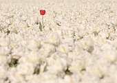 One red tulip growing in field of white tulips