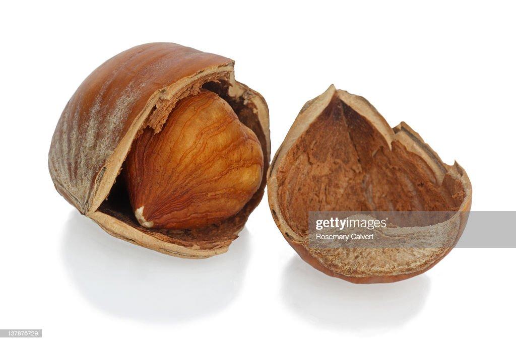 One ripe hazelnut opened to reveal the kernal