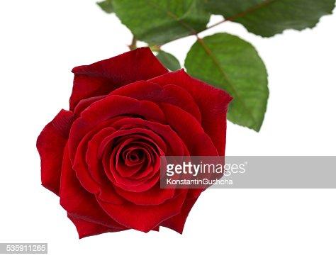 Uma rosa : Foto de stock