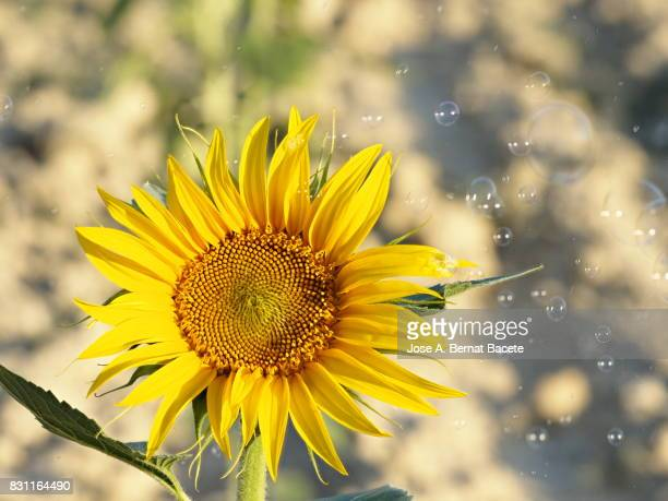 One sunflower blossoms brightly lit by the sun in the field, surrounded by soap bubbles floating in the air, Spain