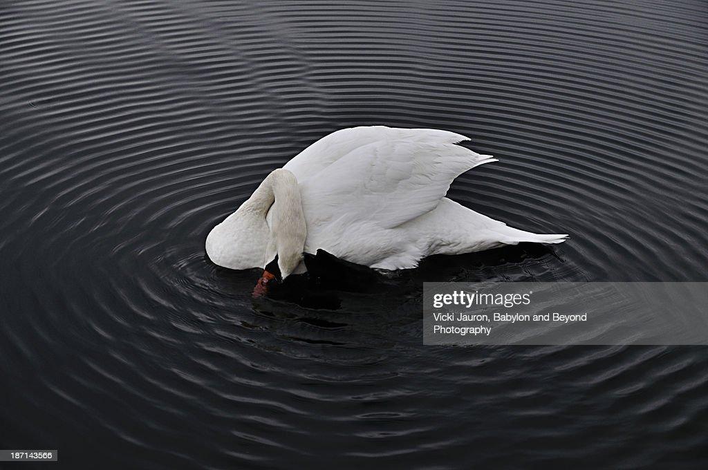 One Talented Swan at Argyle Lake, Babylon Village