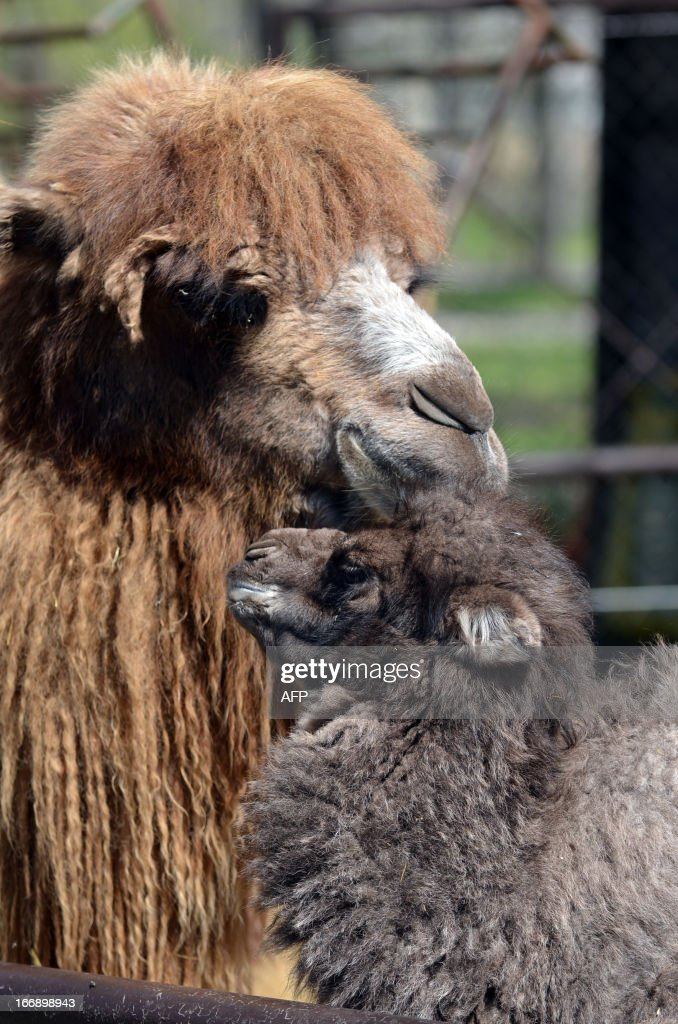 A one week old camel baby, 'Zsolti' is seen with his mother 'Gobi' in the local animal garden of Szeged, Hungary, on April 18, 2013. The camel colt was born on April 10, 2013 and is fed by animal keepers with a special mixture of goats' milk and nutriment for calves until the mother will be able to feed her offspring.