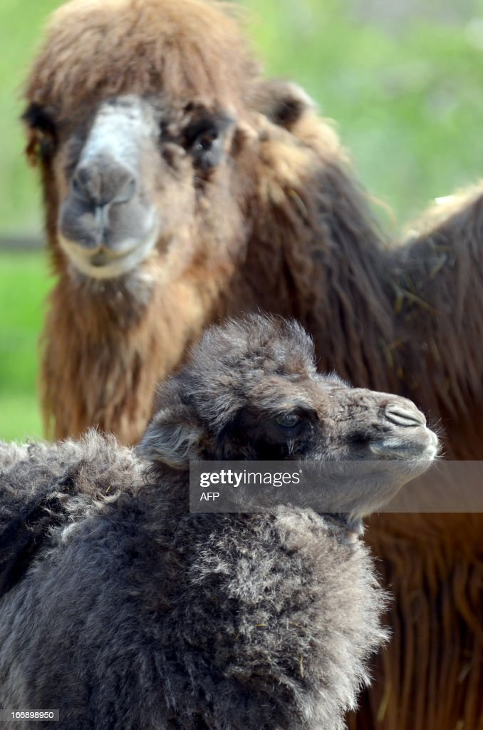 A one week old camel baby, 'Zsolti' stands with its mother 'Gobi' in the local animal garden of Szeged, Hungary, on April 18, 2013. The camel colt was born on April 10, 2013 and is fed by animal keepers with a special mixture of goats' milk and nutriment for calves until the mother will be able to feed her offspring.