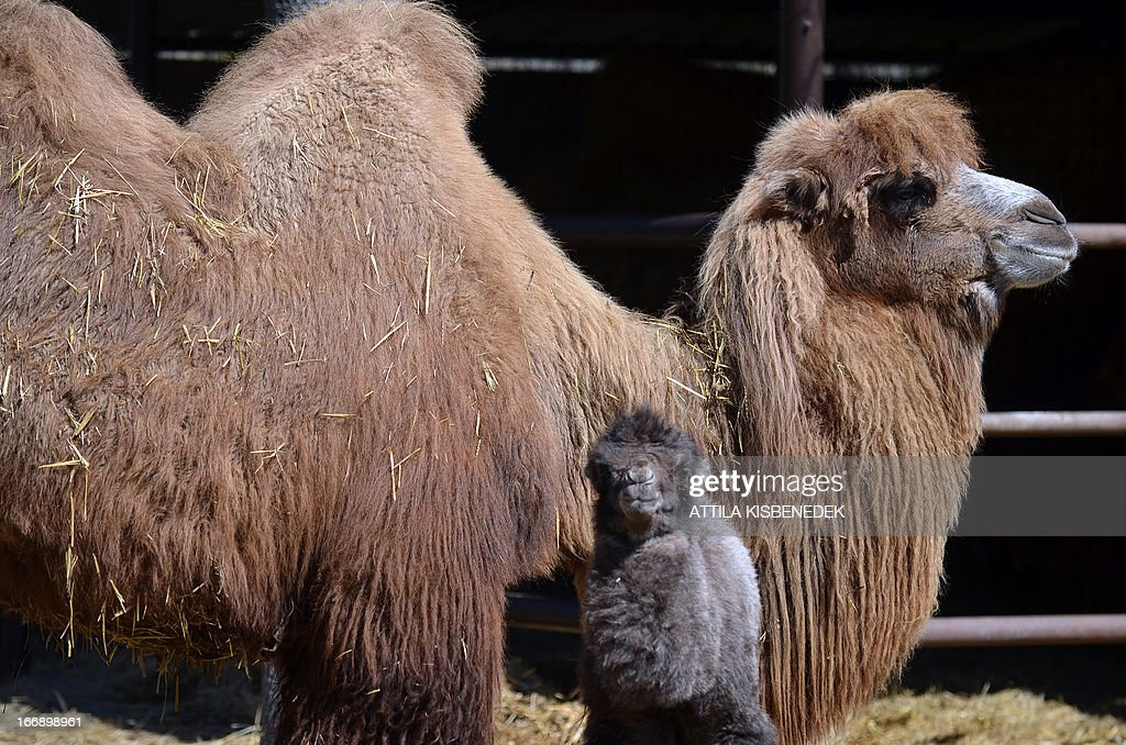A one week old camel baby, 'Zsolti' stands with its mother 'Gobi' in the local animal garden of Szeged, Hungary, on April 18, 2013. The camel colt was born on April 10, 2013 and is fed by animal keepers with a special mixture of goats' milk and nutriment for calves until the mother will be able to feed her offspring. AFP PHOTO / CSABA SEGESVARI