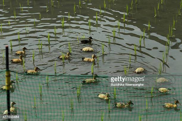 One week old ducklings swim as look food in Ichihara Organic Rice filed on June 17 2015 in Tatsuno Japan Japanese rice farmer Tadashi Ichihara works...