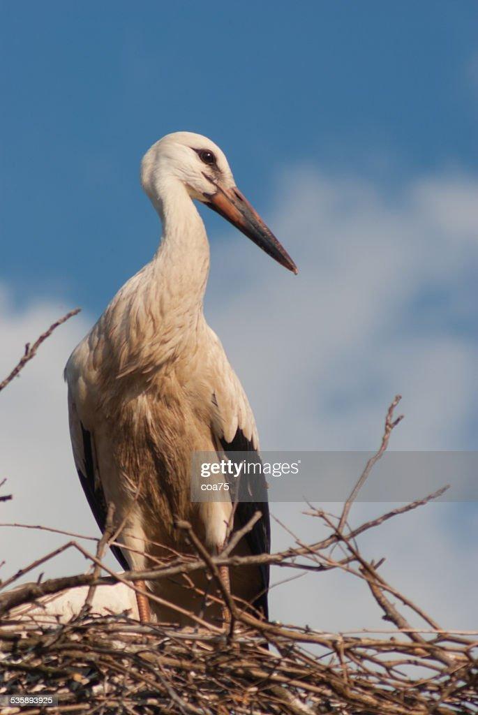One white stork : Stock Photo